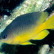 Cocoa Damselfish inhabit reefs, especially fore reefs with living coral, in Tropical West Atlantic; picture taken Grand Cayman.