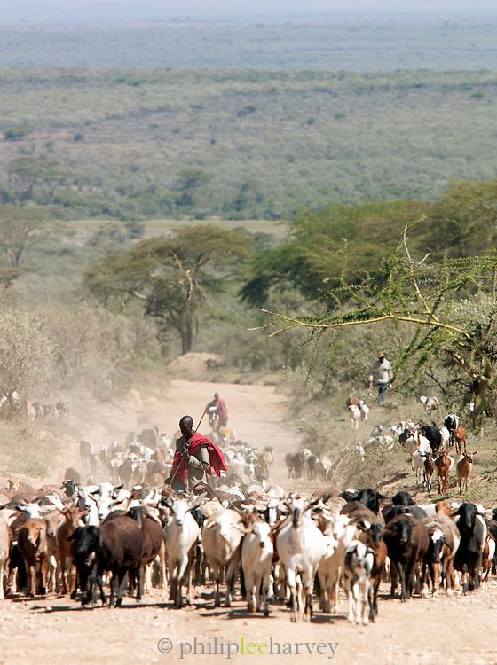 Maasai tribesmen herding cattle, near Maasai Mara National Reserve, Kenya