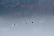 Five trumpeter (Cygnus buccinator) swans fly in the fog over a pond in Brady, Washington. With a length of as much as 64 inches (163 cm) and a weight of as much as 26 pounds (11.8 kg), the trumpeter swan is the largest bird native to North America.