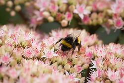 Bumble Bee on Sedum telephium 'Matrona' AGM. Stonecrop