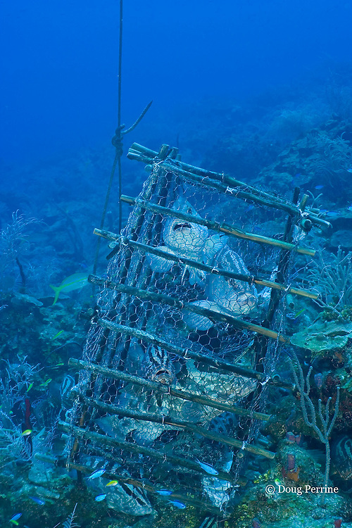 fish trap placed at spawning aggregation site by holders of special fishing permit, is filled with Nassau groupers, Epinephelus striatus ( Endangered Species ), Lighthouse Reef Atoll, Belize, Central America ( Caribbean Sea )