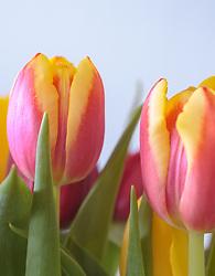THEMENBILD - Tulpenkelche in rot-gelb marmoriert, aufgenommen am 15. März 2018, Kaprun, Österreich // Tulip goblets marbled in red-yellow on 2018/03/15, Kaprun, Austria. EXPA Pictures © 2018, PhotoCredit: EXPA/ Stefanie Oberhauser