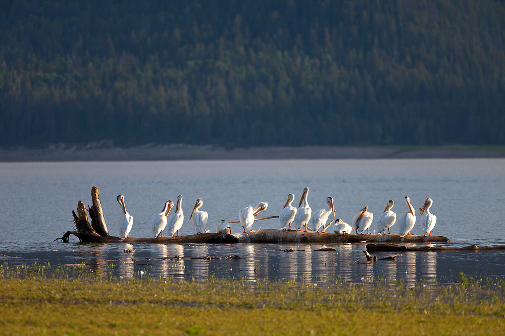 Flock of 14 white pelicans line up on the floating log on Palisade Reservoir near Alpine Junction Wyoming on a spring day. The American White Pelican (Pelecanus erythrorhynchos) is a large aquatic bird from the order Pelecaniformes. It breeds in interior North America, moving south and to the coasts, as far as Central America, in winter. Licensing and Open Edition Prints