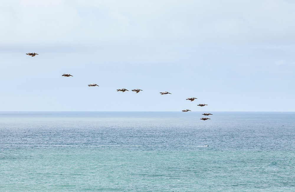 A group of pelicans fly over the Pacific ocean off the Marin Headlands, California, USA.
