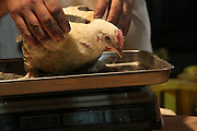 Butcher weighs chicken before slaughter