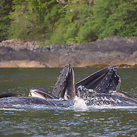 A group of Humpback whales engage in cooperative feeding in the summer waters of southeast Alaska