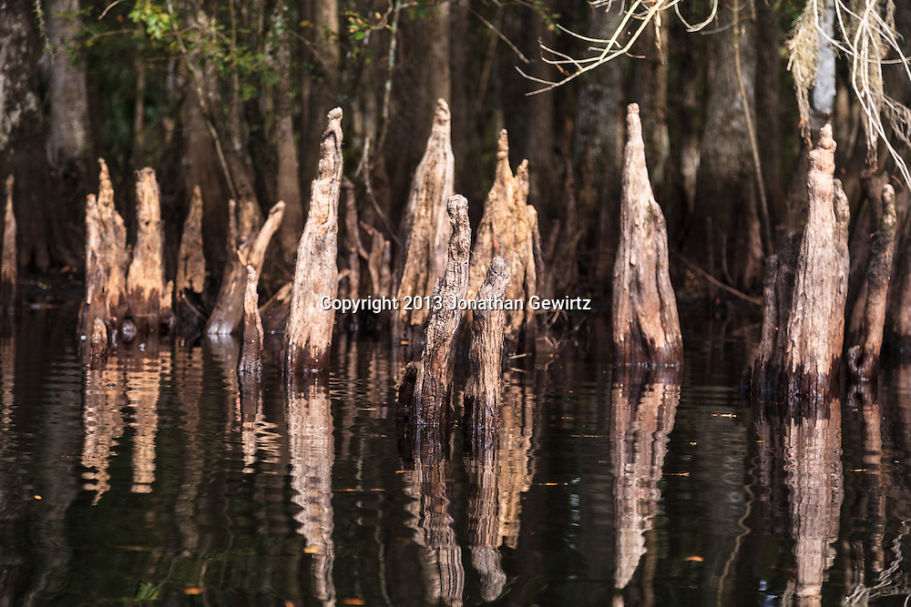 Submerged cypress knees near the banks of Fisheating Creek in the Fisheating Creek Wildlife Management Area, Florida.water,wet,primordial WATERMARKS WILL NOT APPEAR ON PRINTS OR LICENSED IMAGES.