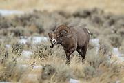 Bighorn ram during the autumn rut in Wyoming