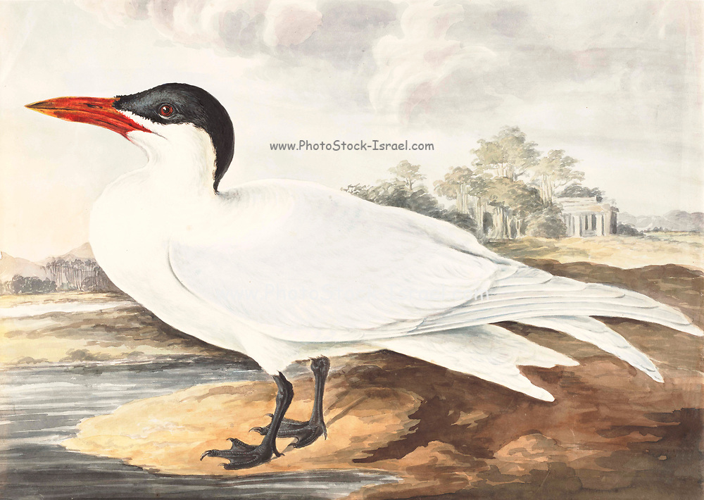 The whiskered tern (Chlidonias hybrida) is a tern in the family Laridae. 18th century watercolor painting by Elizabeth Gwillim. Lady Elizabeth Symonds Gwillim (21 April 1763 – 21 December 1807) was an artist married to Sir Henry Gwillim, Puisne Judge at the Madras high court until 1808. Lady Gwillim painted a series of about 200 watercolours of Indian birds. Produced about 20 years before John James Audubon, her work has been acclaimed for its accuracy and natural postures as they were drawn from observations of the birds in life. She also painted fishes and flowers. McGill University Library and Archives