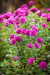 Chrysanthemum 'Julia Peterson'