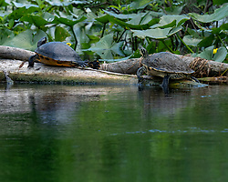 Turtles sitting on a log on the Silver River in Ocala Florida.