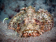 Raggy scorpionfish (Scorpaenopsis) is a genus of scorpionfishes native to the Indian and Pacific Oceans.