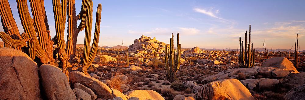 MEXICO, BAJA CALIFORNIA Central Desert; Catavina; Cardon cactus