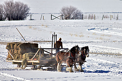 team feeding cattle, Jackson Hole Wyoming