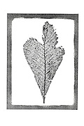 leaf imprint