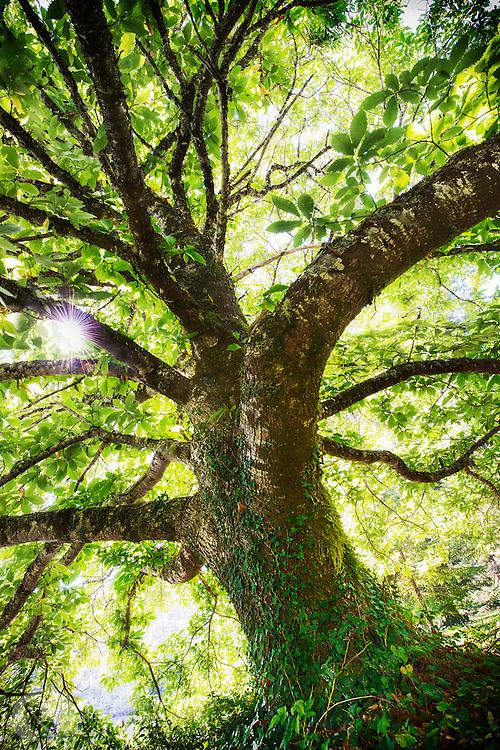 Mighty Big Tree, one of many along the Oregon Coast.