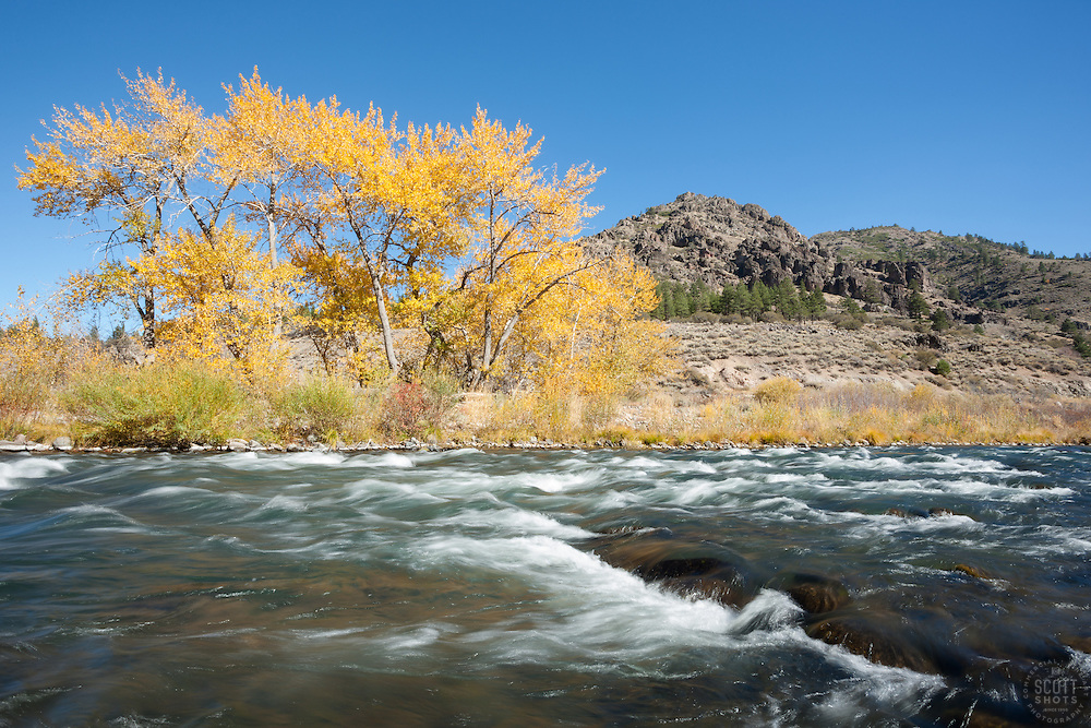 """""""Truckee River in Autumn 15"""" - Photograph of yellow leaved cottonwood trees, taken along the shore of the Truckee River in Autumn."""