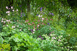 Aquilegia vulgaris in a border at Glebe Cottage in May. Columbine