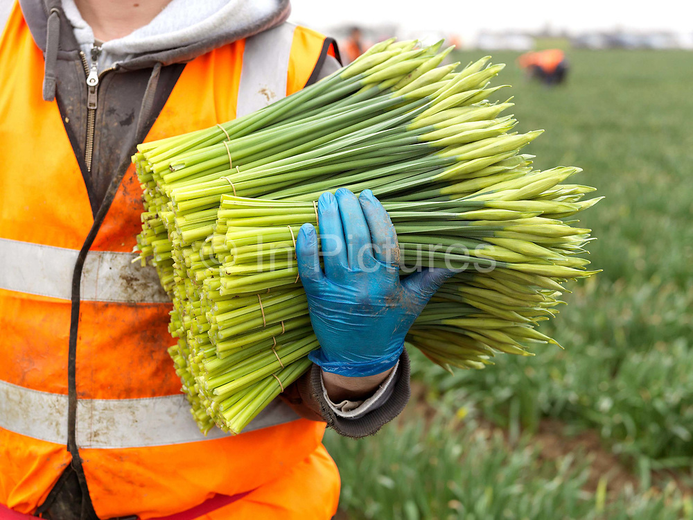 An Eastern European farm worker holding bunches of daffodils picked in a field farmed by commercial bulb grower Walkers Bulbs At Taylors, Holbeach, Spalding, Lincolnshire