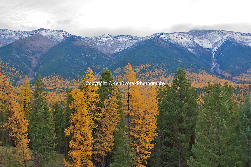 Looking into the Bob Marschall Wilderness from the Clearwater Lake Road in western Montana the fall explodes wilth color as the Tamarack turn gold.
