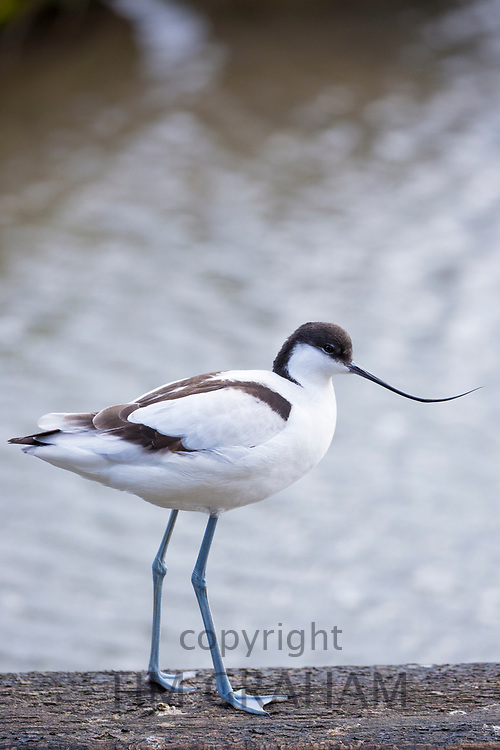 Avocet - Recurvirostra - wader by lake at Slimbridge Wildfowl and Wetlands Centre, England, UK