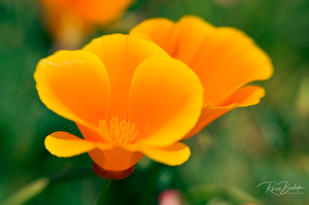 California Poppies (Eschscholtzia californica), Antelope Valley, California