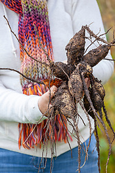 Digging up dahlia tubers ready for cleaning then overwintering in a greenhouse