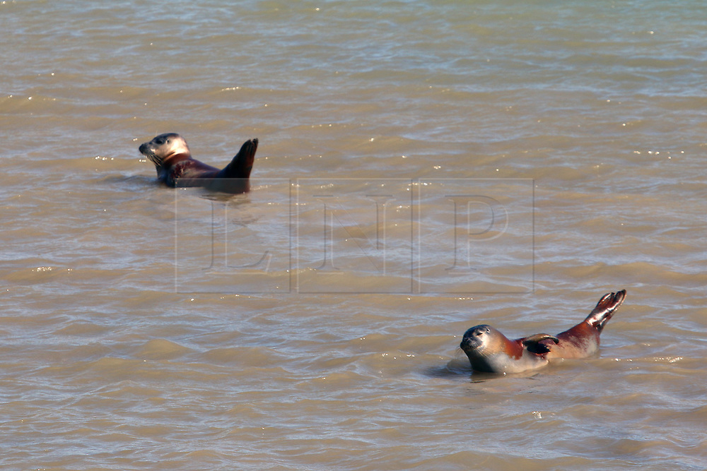 © Licensed to London News Pictures. 10/09/2015. East Sussex.  Two seals at Sovereign Harbour near Eastbourne. The country has enjoyed high temperatures and sunny weather today as summer draws to a close. Credit : Rob Powell/LNP