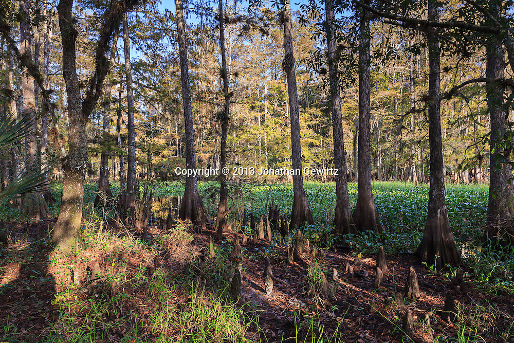 Morning sunlight shines through cypress trees on a small island in Fisheating Creek in Florida's Fisheating Creek Wildlife Management Area. WATERMARKS WILL NOT APPEAR ON PRINTS OR LICENSED IMAGES.