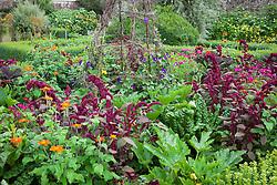 Amaranthus paniculatus 'Red Fox' with Tithonia rotundifolia 'Torch', Rudbeckia hirta 'Cherry Brandy' (Coneflower), Courgette 'Green Bush' and Ipomoea purpurea 'Grandpa Otts' (Morning Glory)