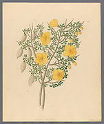 Bignoniae Nova Specie [Rhigozum obovatum] (1817) from a collection of ' Drawings of plants collected at Cape Town ' by Clemenz Heinrich, Wehdemann, 1762-1835 Collected and drawn in the Cape Colony, South Africa