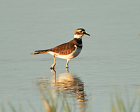 Killdeer (Charadrius vociferus). Bitter Lake National Wildlife Refuge. Roswell, New Mexico. Image taken with a Nikon D4 camera and 500 mm f/4 VR lens and 2.0x TCE-II teleconverter.