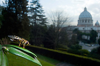 Yellow-legged moustached Icon Hoverfly (Syrphus ribesii) in Vatican's garden, Rome, Italy