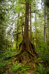 Western hemlock roots surround western red cedar stump. Location: Quinault Rain Forest Trail, Olympic National Forest, Washington, US