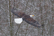 An adult bald eagle (Haliaeetus leucocephalus) flies over the Nooksack River near Welcome, Washington, during a snow storm. Hundreds of bald eagles winter along the river to feast on spawned-out salmon.
