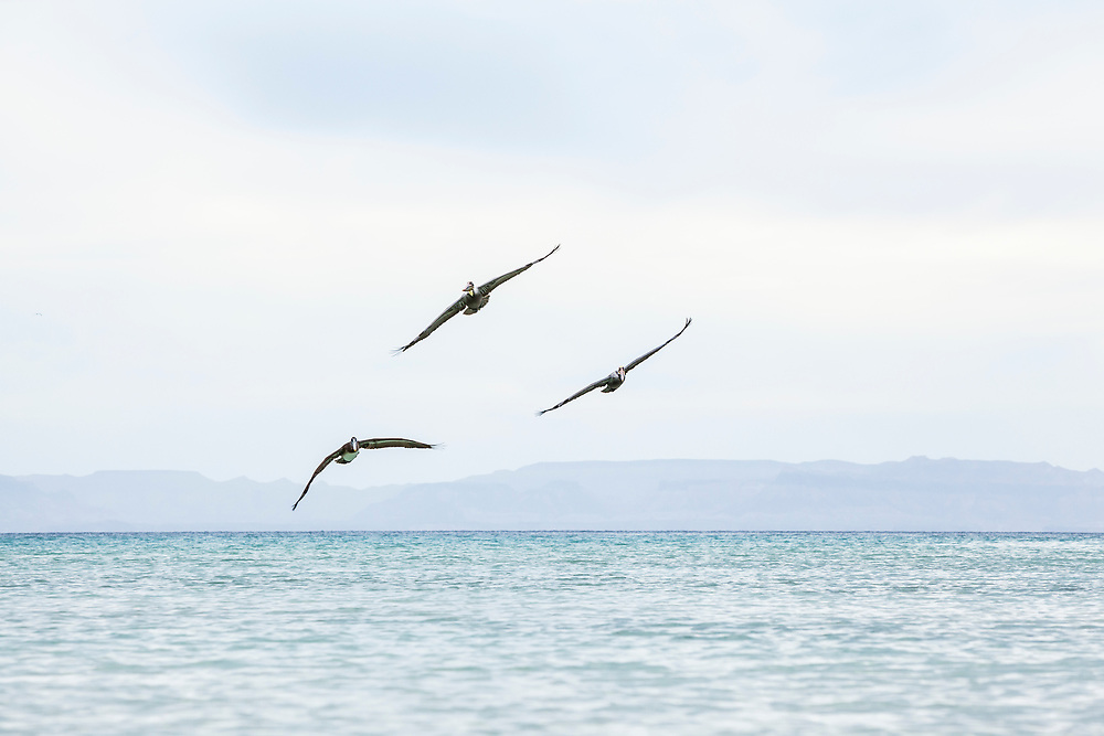 Three Brown Pelicans flying off the coast of Isla Espirito Santo, Gulf of California with the mainland Baja in the distance, BCS, Mexico.