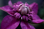 Clematis 'Cassis'