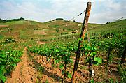 Vineyard. Alsace, France