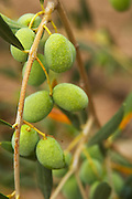 Olives on a branch Verdalo variety. Moulin Mas des Barres olive mill, Maussanes les Alpilles, Bouches du Rhone, Provence, France, Europe
