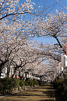 Dankazura Wakamiyaoji Street Sakura - A cherry blossom is the flower of any of several trees of genus Prunus, particularly the Japanese Cherry, Prunus serrulata, which is called sakura in Japanese. Japan has a wide variety of cherry blossoms with well over 200 types can be found there.[ The most popular variety of cherry blossom in Japan is the Somei Yoshino. Its flowers are nearly white, tinged with the palest pink, and bloom and fall within a week, before the leaves come out.