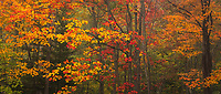 Colorful sugar maple trees in autumn, Acadia National Park, Maine, USA