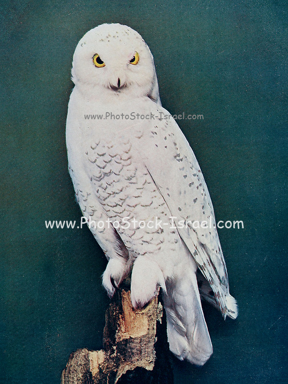 The snowy owl (Bubo scandiacus syn Nyctea nivea) is a large, white owl of the true owl family. Snowy owls are native to the Arctic regions of both North America and the Palearctic, breeding mostly on the tundra. It is sometimes also referred to, more infrequently, as the polar owl, white owl and the Arctic owl. From Birds : illustrated by color photography : a monthly serial. Knowledge of Bird-life Vol 1 No 1 June 1897