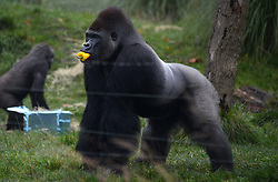 © Licensed to London News Pictures.18/11/2013. London, UK. Kumbuka, silverback gorilla plays with presents in his enclosure at ZSL London Zoo. The presents was given to Kumbuka for his sixteenth birthday.Photo credit : Peter Kollanyi/LNP