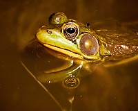 Kermit the Bullfrog. Image taken with a Nikon N1V3 camera and 70-300 mm VR lens