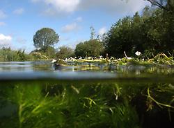 UK ENGLAND WILTSHIRE 26JUN08 - Semi-submerged photo of flora in the riverbed of the Kennet near Stichcoombe in rural Wiltshire, western England...jre/Photo by Jiri Rezac / WWF UK..© Jiri Rezac 2008..Contact: +44 (0) 7050 110 417.Mobile:  +44 (0) 7801 337 683.Office:  +44 (0) 20 8968 9635..Email:   jiri@jirirezac.com.Web:     www.jirirezac.com..© All images Jiri Rezac 2008 - All rights reserved.