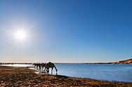 Dromedaries drink water at a rain-filled lake at the sand dunes of Erg Chebbi, Merzouga, Morocco.
