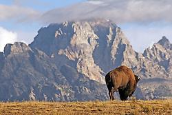 Bull bison, Grand Teton National Park, Jackson Hole,