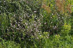Kattendoorn, Ononis repens subsp. spinosa
