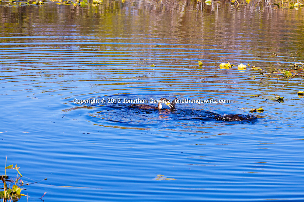 Two Double-crested Cormorants (Phalacrocorax auritus), one of which has just caught a fish, in a canal along the Anhinga Traill in Everglades National Park, Florida. WATERMARKS WILL NOT APPEAR ON PRINTS OR LICENSED IMAGES.