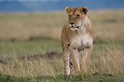 Lioness (Panthera leo), Masai Mara National Reserve, Kenya.